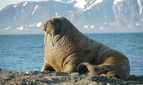 Top 10 facts about Walrus   WWF